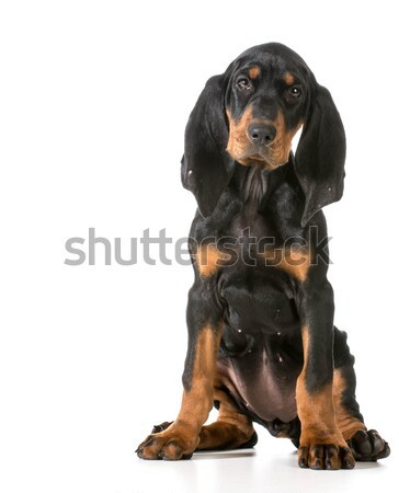 black and tan coonhound Stock photo © willeecole