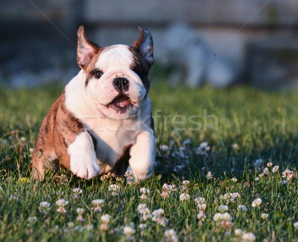 puppy running Stock photo © willeecole