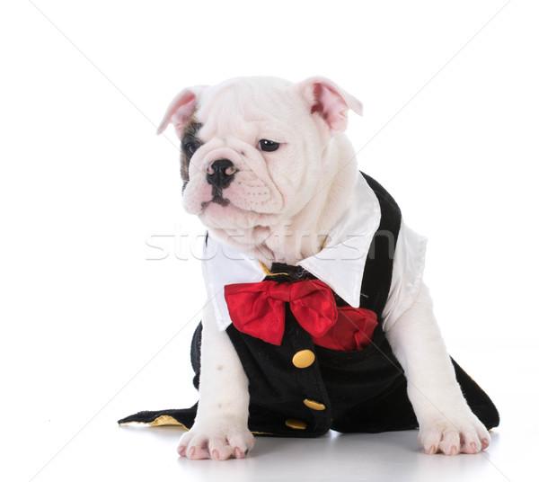 Puppy smoking Engels bulldog witte Stockfoto © willeecole