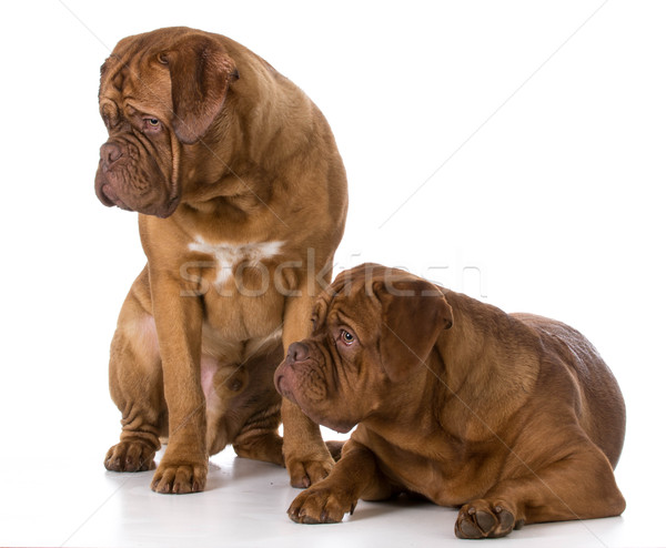 two dogue de bordeaux puppies Stock photo © willeecole