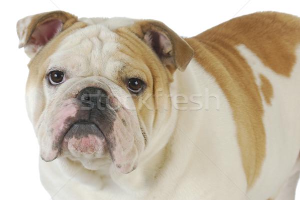 Angol bulldog férfi egyéves fehér állat Stock fotó © willeecole