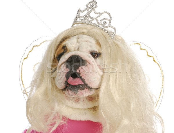 уродливые Принцесса английский бульдог парик Сток-фото © willeecole