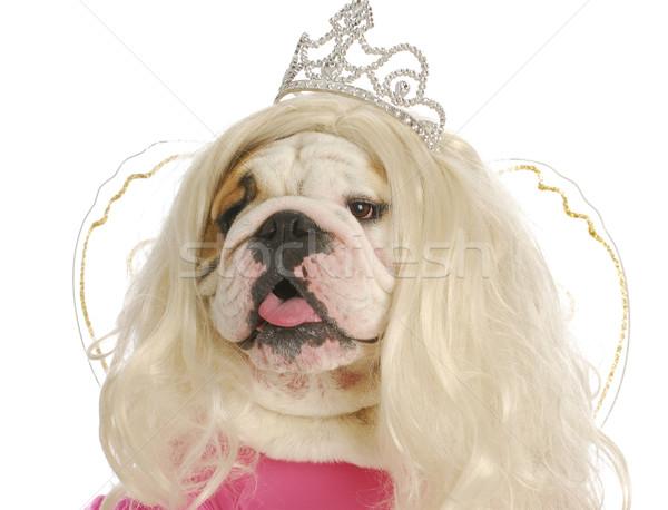 Laide princesse anglais bulldog perruque Photo stock © willeecole