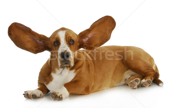 dog listening Stock photo © willeecole