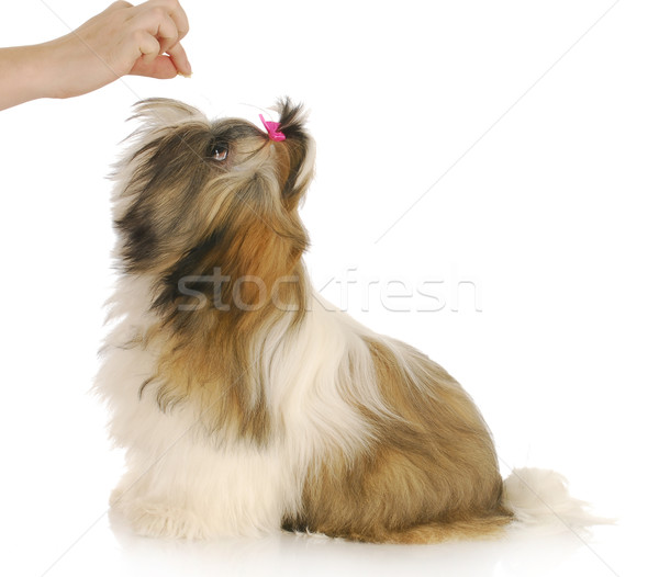 feeding dog Stock photo © willeecole