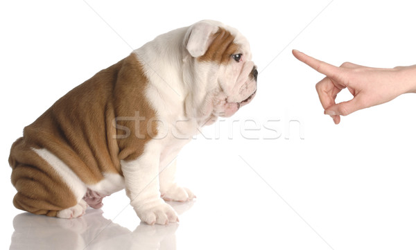 bad dog - persons hand wagging finger at nine week old english bulldog puppy Stock photo © willeecole