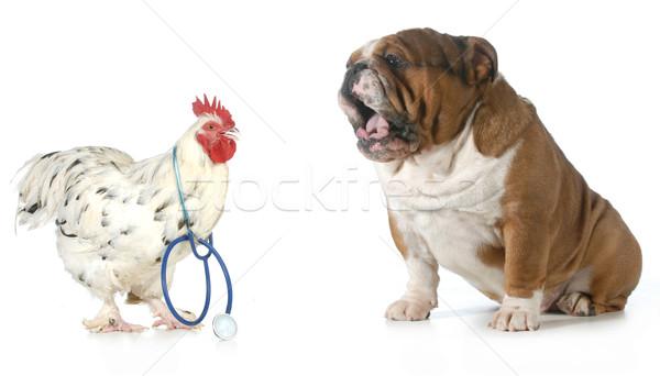 állatorvosi törődés tyúk orvos elvesz zaklatott Stock fotó © willeecole