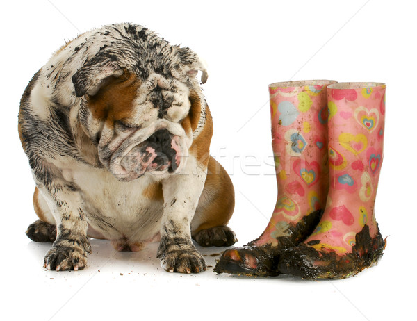 Sale chien boueux bottes anglais bulldog Photo stock © willeecole
