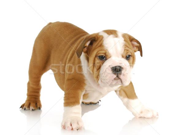 Stock fotó: Aranyos · kutyakölyök · angol · bulldog · áll · fehér