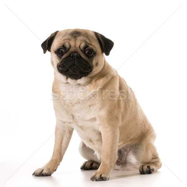 pug sitting Stock photo © willeecole