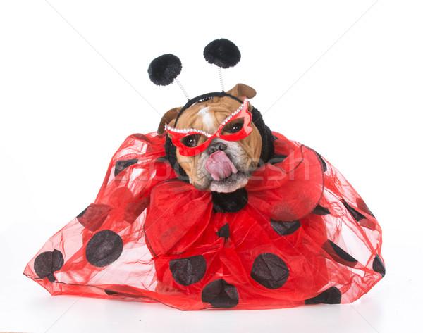 Perro como mariquita Inglés bulldog Foto stock © willeecole
