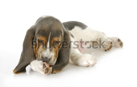dog allergies Stock photo © willeecole