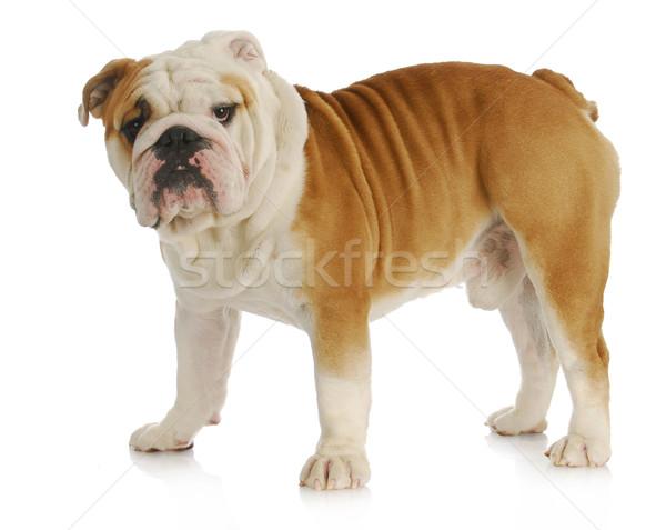 english bulldog standing Stock photo © willeecole