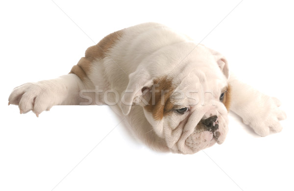 eight week old english bulldog puppy hanging over white foreground Stock photo © willeecole