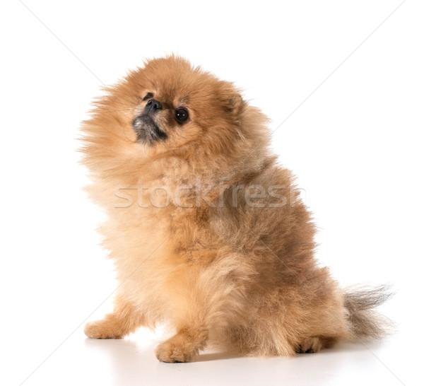 Felfelé néz kutya narancs portré állatok vicces Stock fotó © willeecole