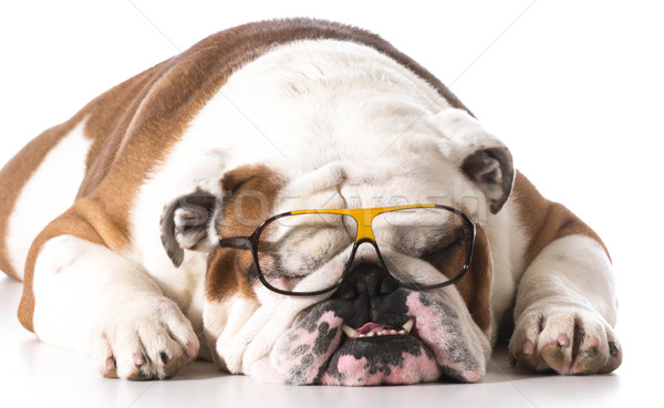 dog wearing glasses Stock photo © willeecole