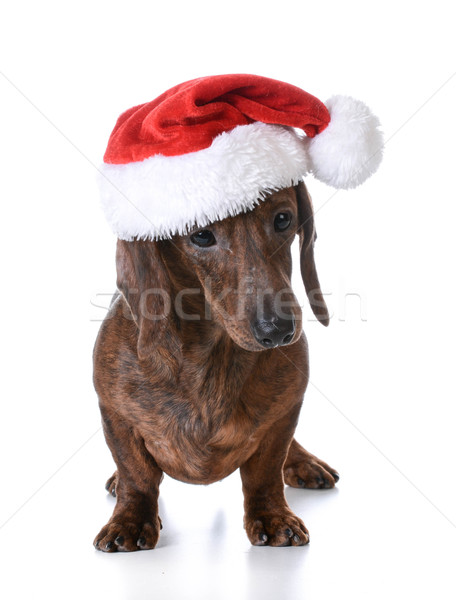 christmas dog Stock photo © willeecole