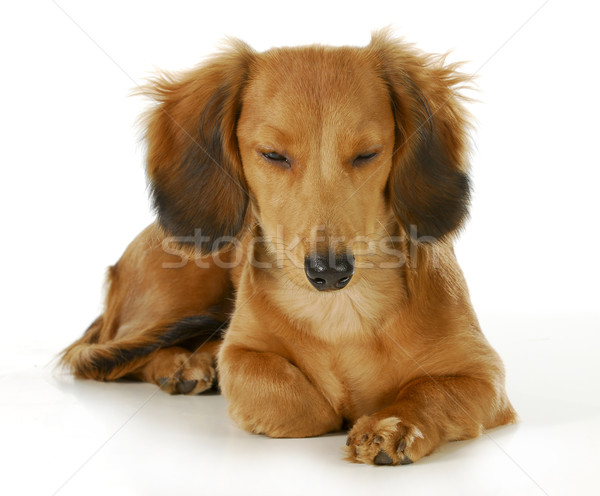 Kutya pihen hosszú hajú miniatűr tacskó fekszik Stock fotó © willeecole
