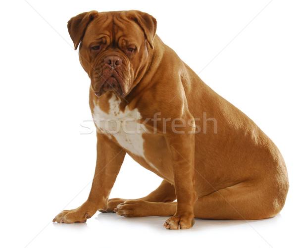 dogue de bordeaux  Stock photo © willeecole