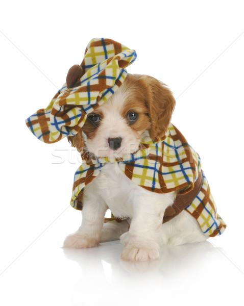 Stock fotó: Aranyos · kutyakölyök · király · visel · kockás · kabát
