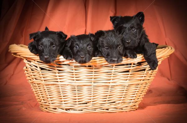 litter of scottish terriers Stock photo © willeecole