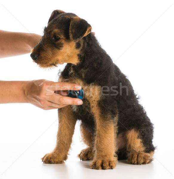 Veeartsenijkundig zorg stethoscoop hart terriër puppy Stockfoto © willeecole