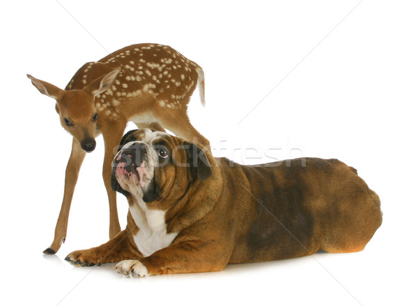 dog and deer Stock photo © willeecole