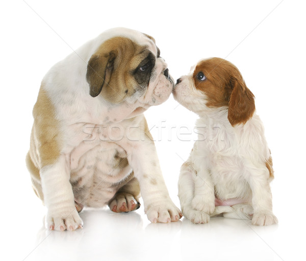 puppy love Stock photo © willeecole