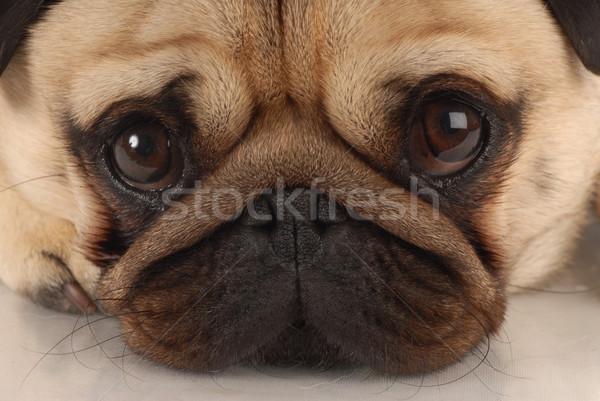 Közelkép kutya néz portré fehér állat Stock fotó © willeecole