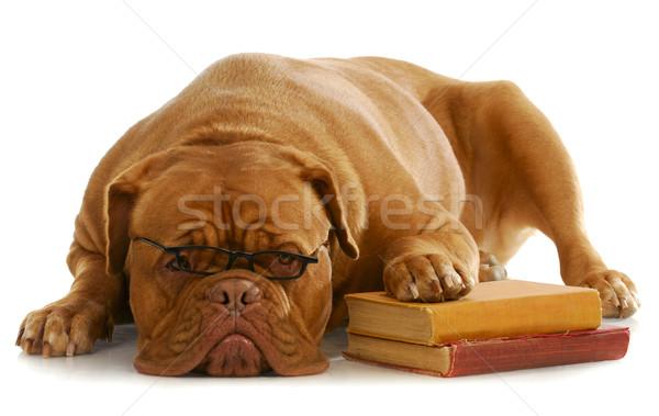Kutya engedelmesség képzés iskola Bordeau visel Stock fotó © willeecole