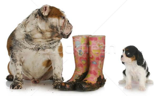 Сток-фото: грязные · собака · глядя · чистой · английский · бульдог