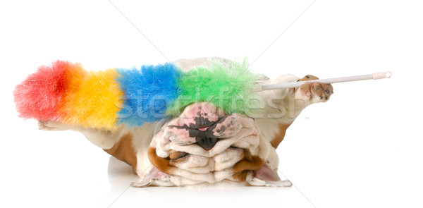 cleaning up dog hair Stock photo © willeecole