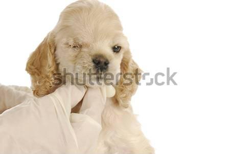 ветеринарный ухода щенков один неделя глаза Сток-фото © willeecole