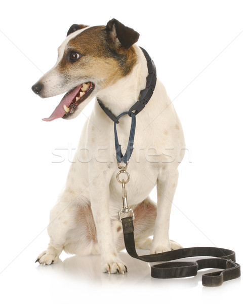 dog waiting to go for a walk Stock photo © willeecole