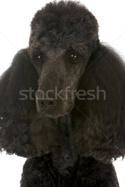 Di serie barboncino ritratto nero maschio campione Foto d'archivio © willeecole