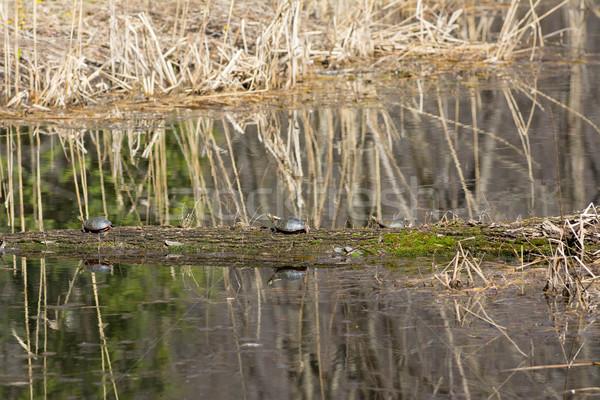 turtles sunbathing Stock photo © willeecole