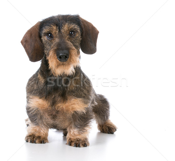 miniature wirehaired dachshund Stock photo © willeecole