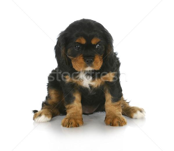 Sevimli köpek yavrusu siyah kral oturma Stok fotoğraf © willeecole