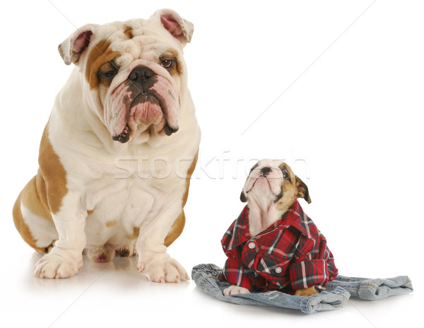 father and son dogs Stock photo © willeecole