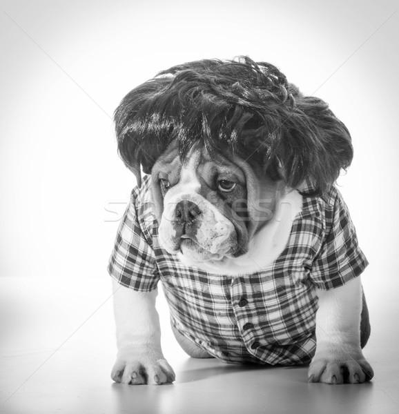 Hond pruik Engels bulldog Stockfoto © willeecole