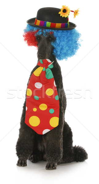 Chien clown norme caniche up costume Photo stock © willeecole