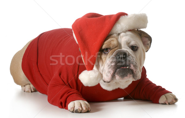 dog santa Stock photo © willeecole