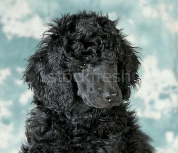 стандартный пудель щенков портрет собака лице Сток-фото © willeecole