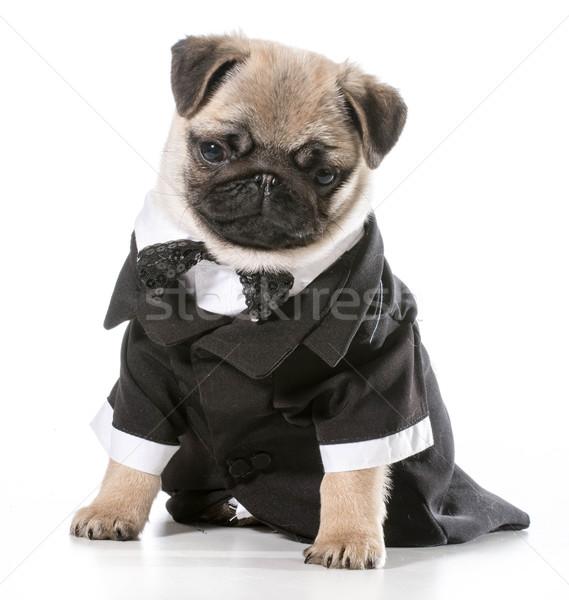 Foto d'archivio: Formale · cane · indossare · isolato · bianco