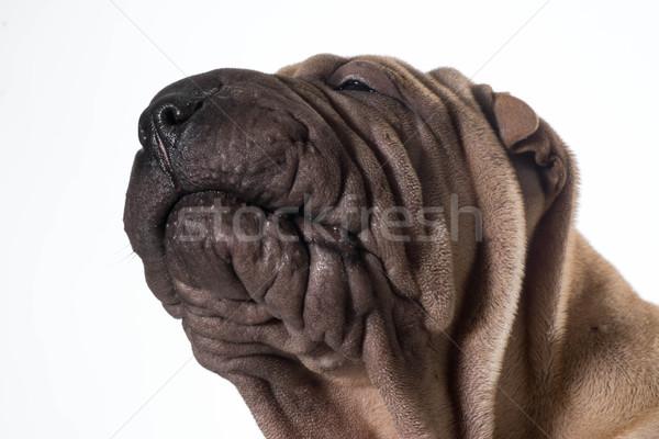 chinese shar pei head portrait Stock photo © willeecole