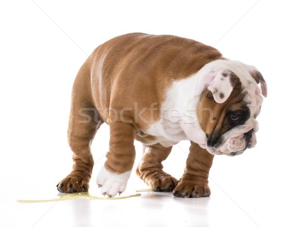 Cachorro bulldog aislado blanco ojos triste Foto stock © willeecole