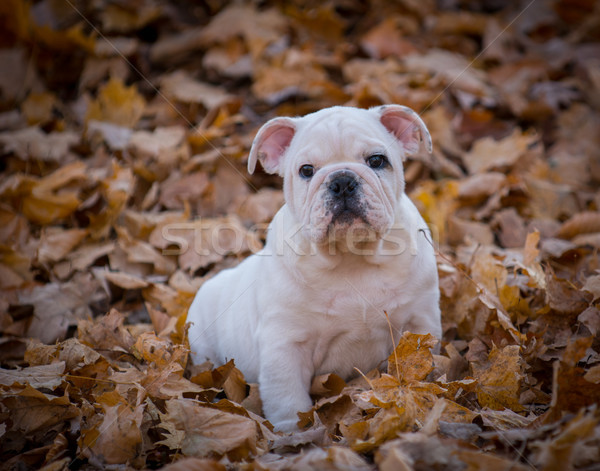 puppy playing outside in autumn Stock photo © willeecole