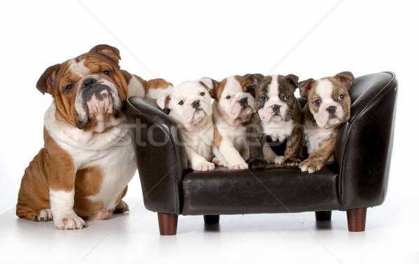Zdjęcia stock: Psa · rodziny · angielski · bulldog · ojciec · posiedzenia