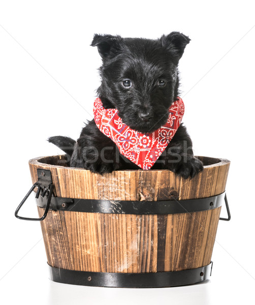 puppy in a bucket Stock photo © willeecole