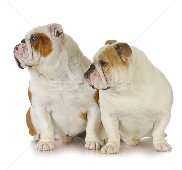 two bulldogs Stock photo © willeecole